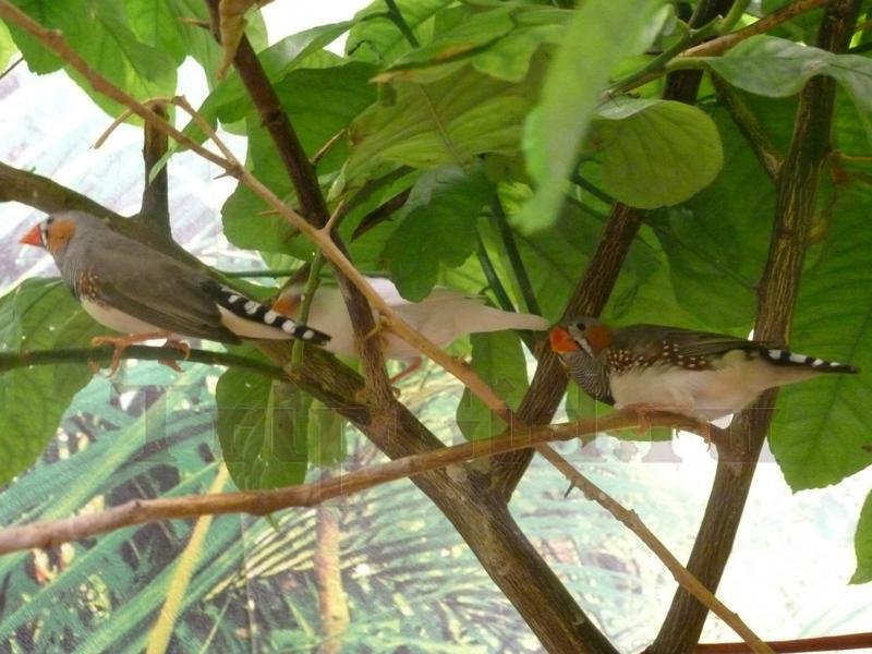 Амадин австралийский зебровый и японский, Выставка бабочек и птиц Troides