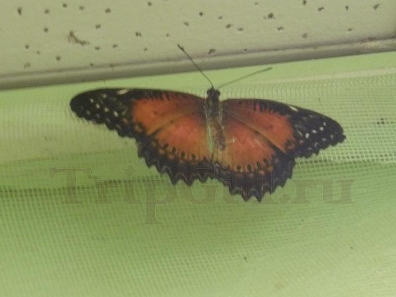 Бабочка, Выставка бабочек и птиц Troides