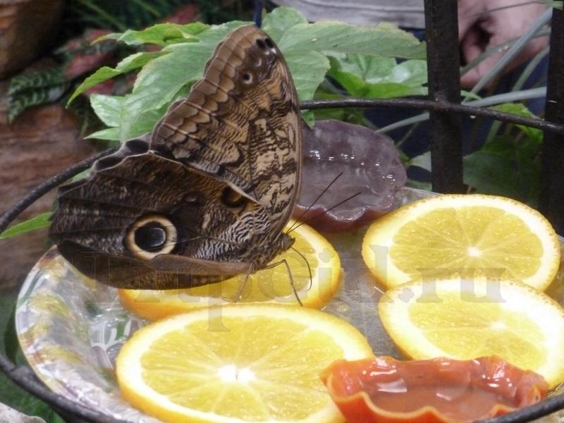 Бабочка Калиго, Выставка бабочек и птиц Troides