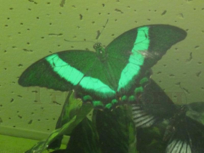 Бабочка Парусник Палинур, Выставка бабочек и птиц Troides