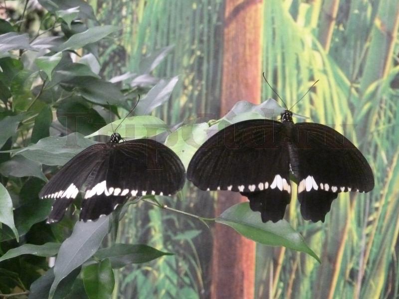 Бабочка Парусник Полит, Выставка бабочек и птиц Troides