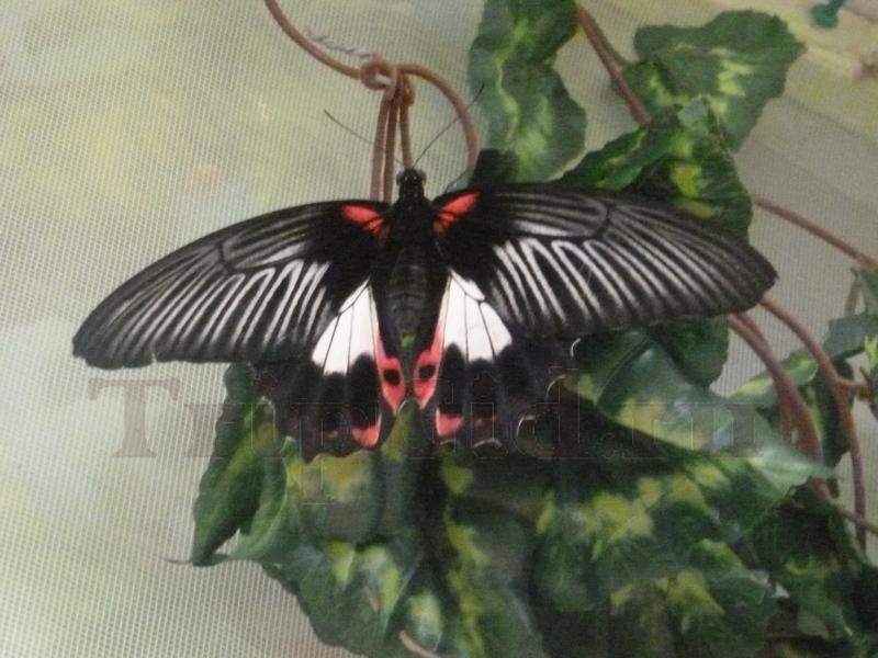 Бабочка Парусник Румянцева, Выставка бабочек и птиц Troides