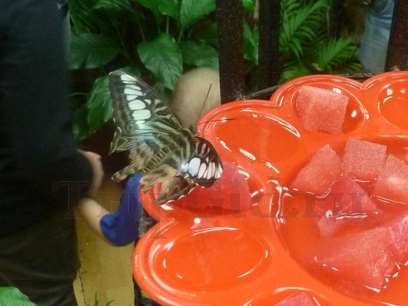 Тигровая бабочка, Выставка бабочек и птиц Troides