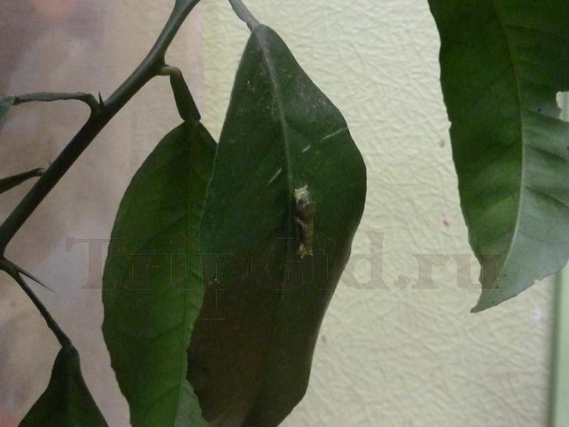 Гусеница бабочки, Выставка бабочек и птиц Troides