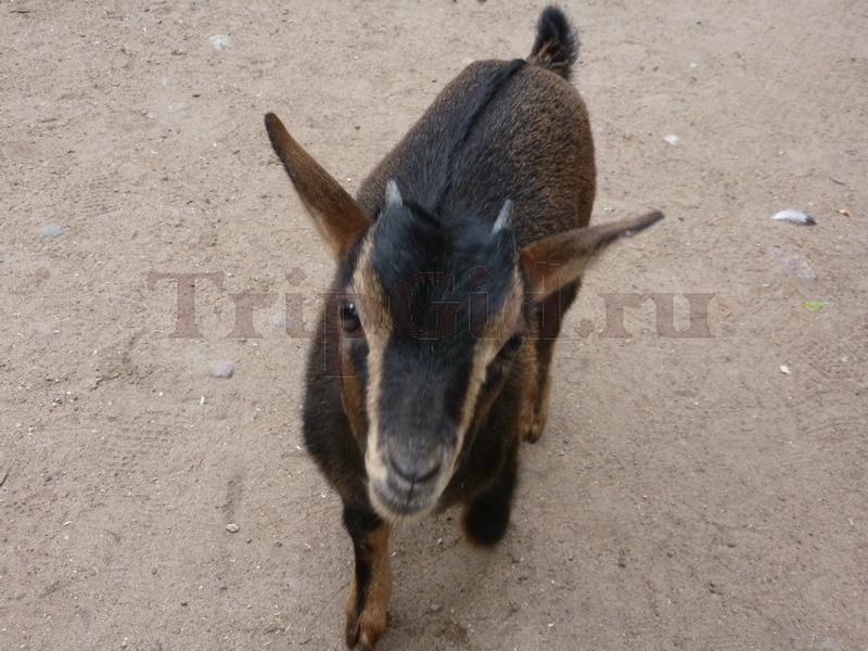 Карликовая коза Радуга Зеленогорск