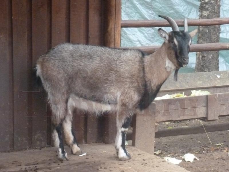 Коза, Зубровник в Токсово