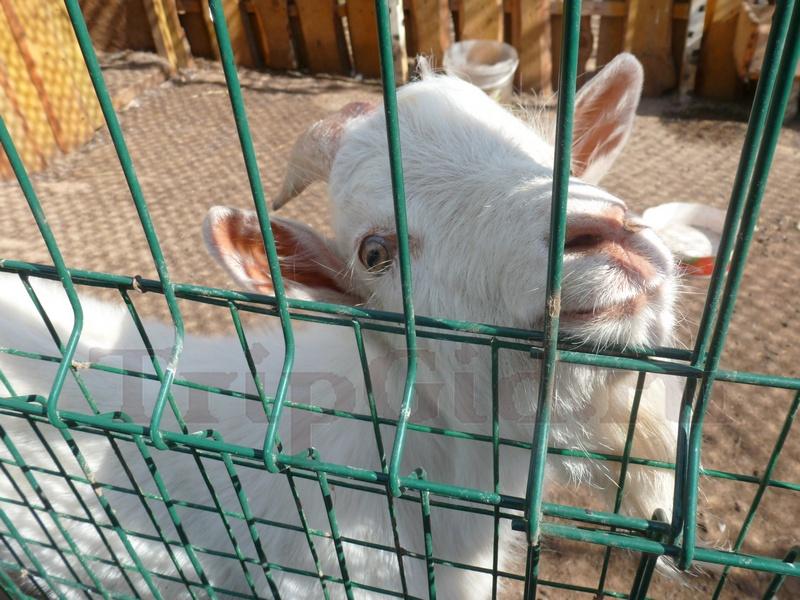 "Коза, мини-зоопарк ""Фермер"", Доможирово"