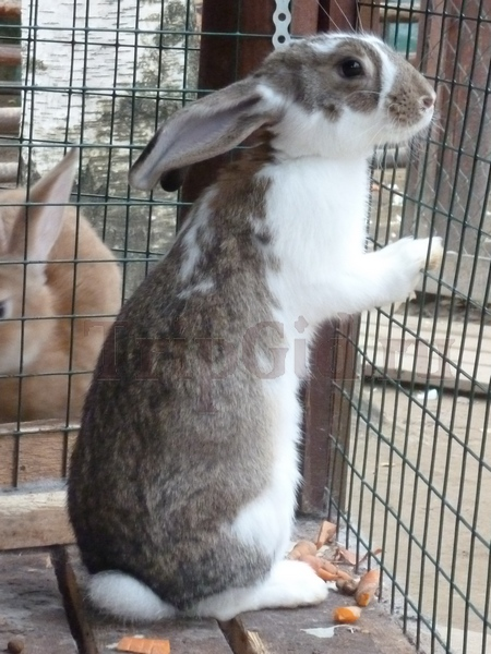 Кролик, Зубровник в Токсово