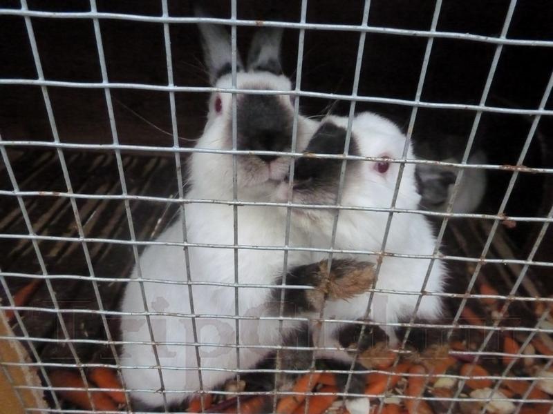 Кролики, Зубровник в Токсово