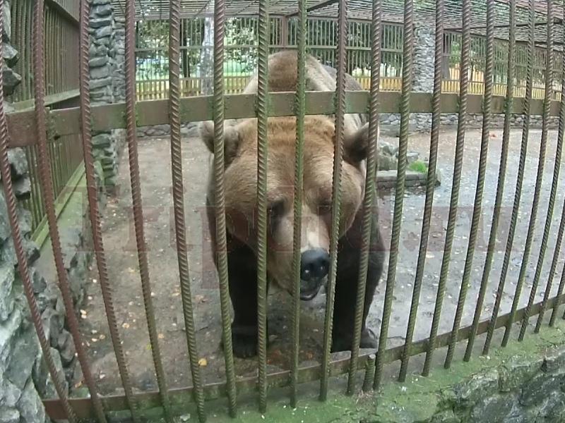 Бурый медведь Северный Склон Токсово