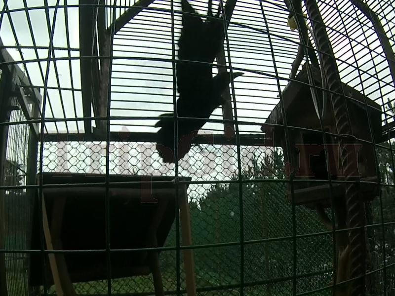 Чёрный ворон Северный Склон Токсово