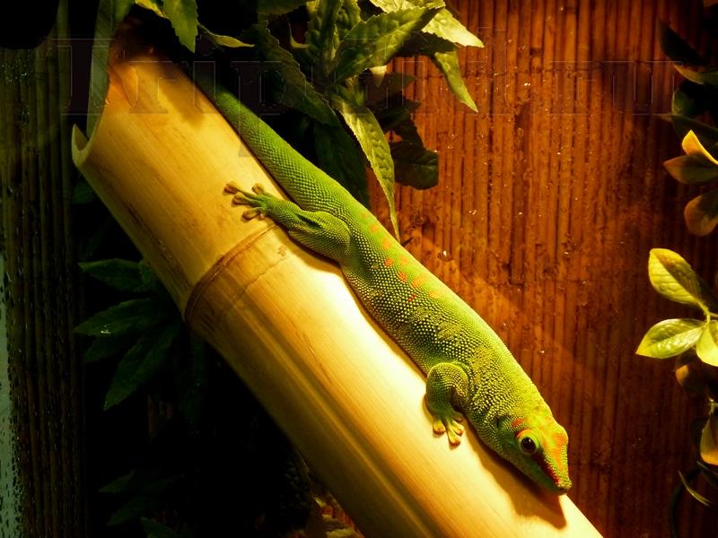 """Мадагаскарский геккон, Трогательный зоопарк, ТРК """"Континент"""" на Байконурской"""