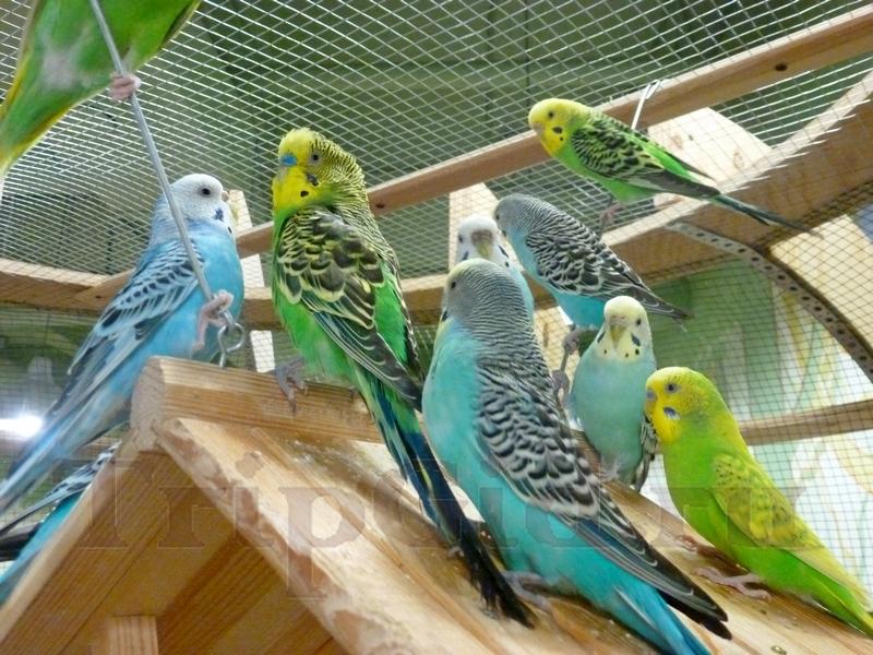 """Волнистые попугайчики, Лесное Посольство, ТРЦ """"Монпансье"""""""
