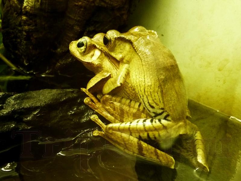 "Борнейская ушастая лягушка, Жизнь с холодной кровью, ТРК ""Гранд Каньон"""