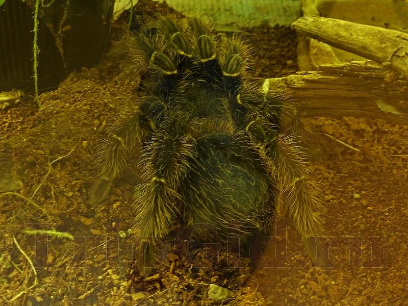"""Гигантский паук-птицеед, Жизнь с холодной кровью, ТРК """"Гранд Каньон"""""""
