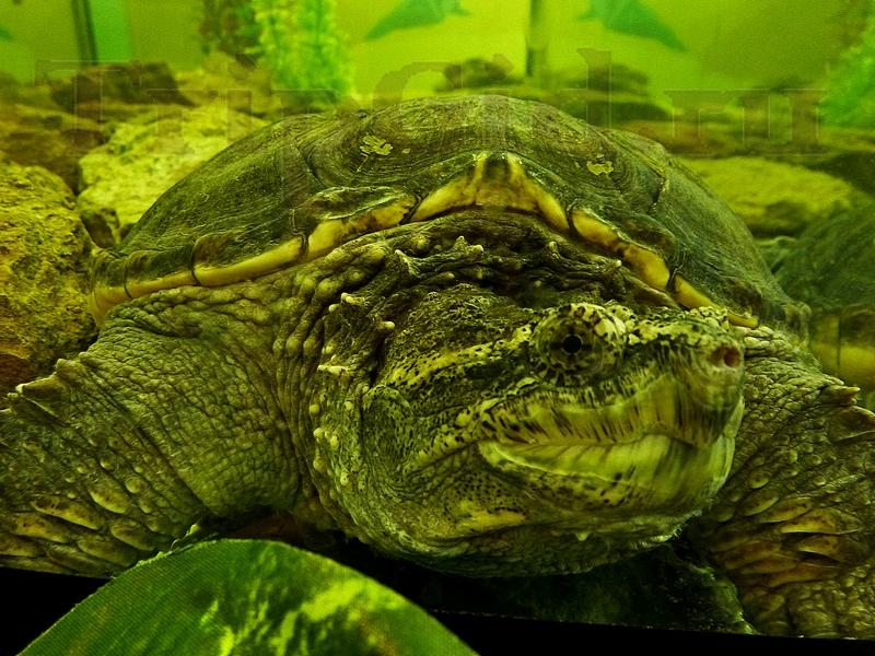 "Каймановая черепаха, Croco Park, ТРК ""Гулливер"""