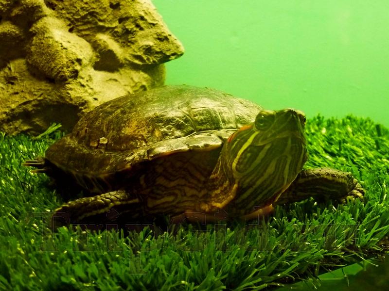 """Красноухая черепаха, Croco Park, ТРК """"Гулливер"""""""