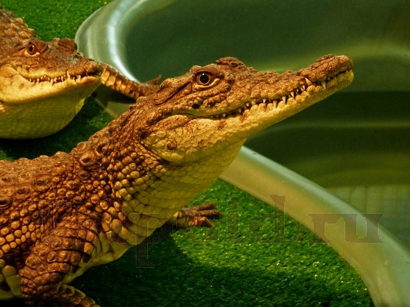 "Крокодиловый кайман, Croco Park, ТРК ""Гулливер"""
