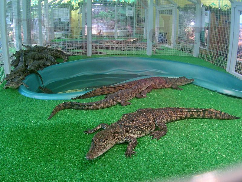 """Крокодиловые кайманы, Croco Park, ТРК """"Гулливер"""""""