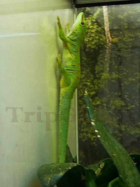 """Мадагаскарский дневной геккон, Жизнь с холодной кровью, ТРК """"Гранд Каньон"""""""