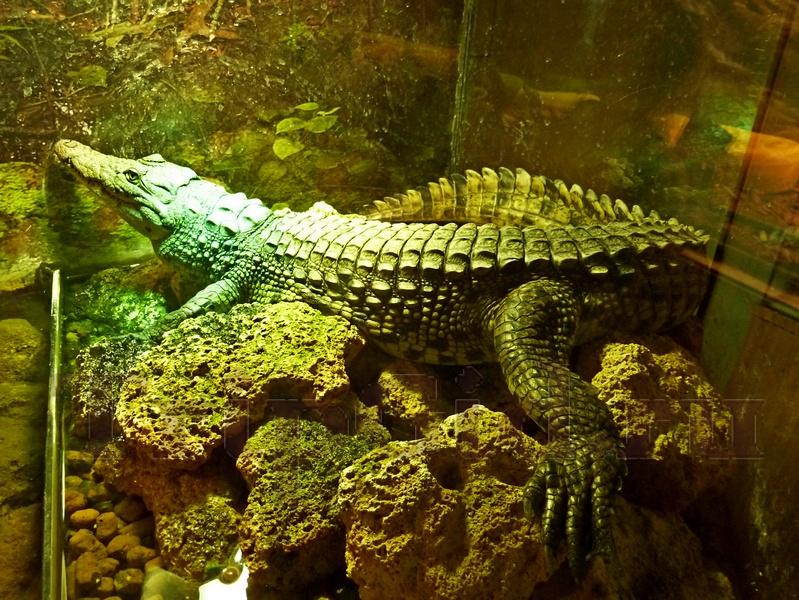 """Нильский крокодил, Жизнь с холодной кровью, ТРК """"Гранд Каньон"""""""