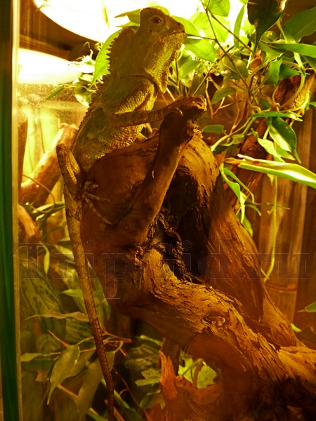 """Яванский лесной дракон, Жизнь с холодной кровью, ТРК """"Гранд Каньон"""""""