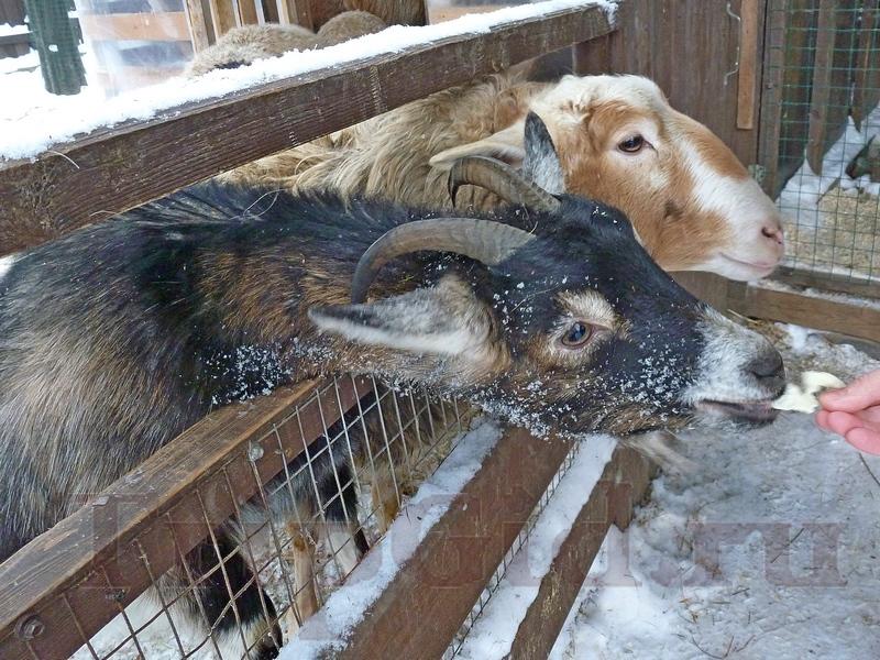 """Коза и овца, """"Курочка Ряба"""", Скотное"""